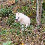 Polarwolf in Hellbrunn - Zoo Salzburg